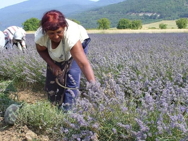 България е на първо място по производство на лавандула в света и обяснимо интересът към тази култура е голям.