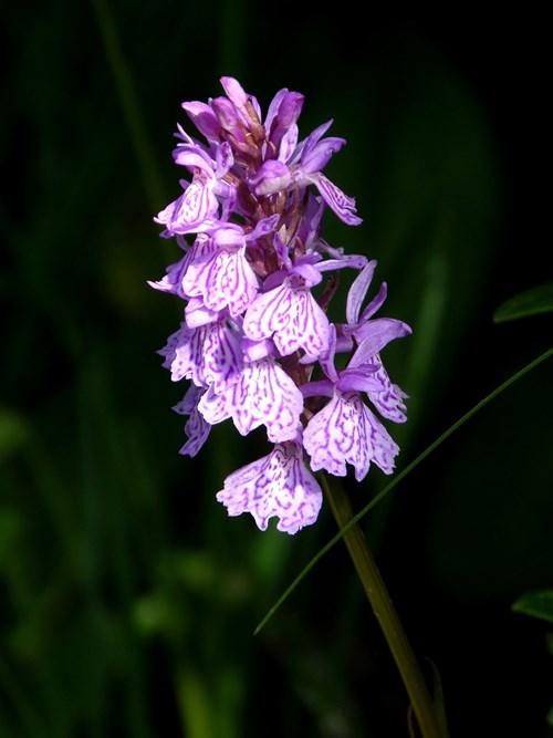 Има и градински орхидеи