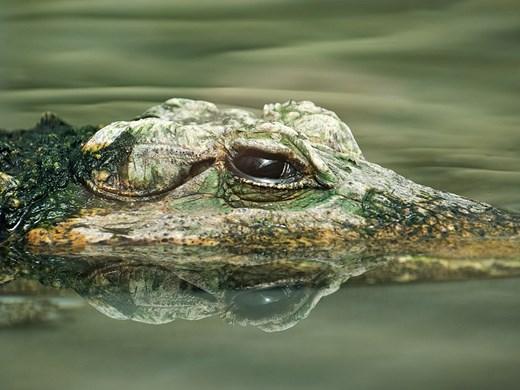 "Рибар улови алигатор, ""гушнат"" от анаконда (Снимка)"