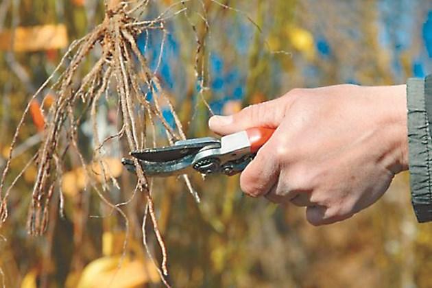 Съкращаване на корените преди засаждането