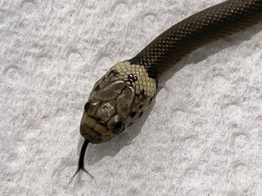 Мъж намери змия в маруля от супермаркет