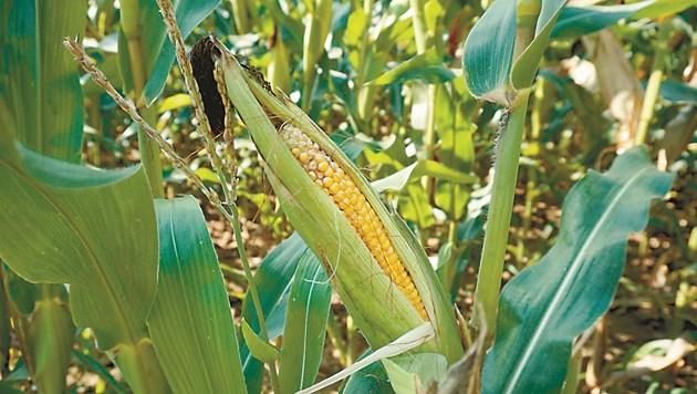 През последните години много от семенарските компании създадоха линии, които включват специално селекционирани сухоустойчиви хибриди царевица